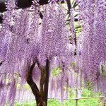 朝来市の白井大町藤公園の藤棚は噂通り山陰一の絶景でした!