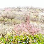 たつの市綾部山梅林の梅まつりの絶景を紹介!